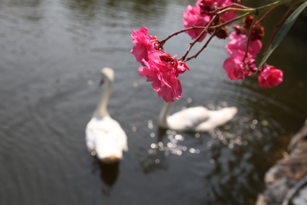 Езерото с лебедите много зарадва децата