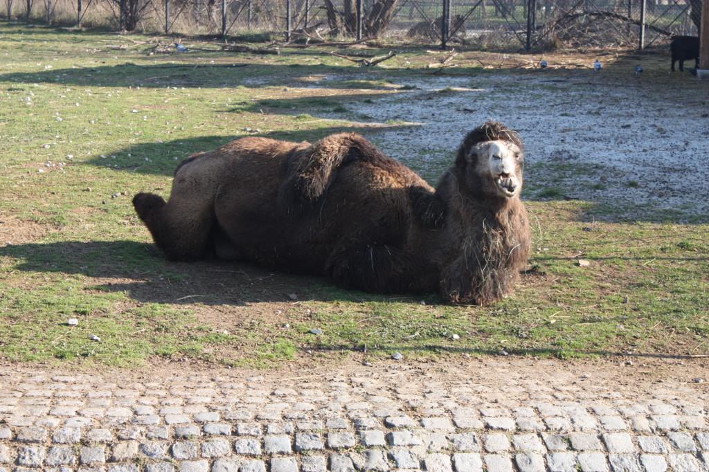 Голяма камила.